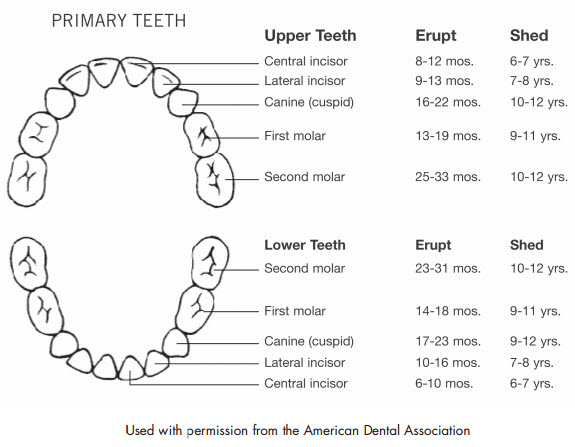 Typically The First Teeth To Come In Are Almost Always Lower Front Central Incisorost Children Will Usually Have All Of Their
